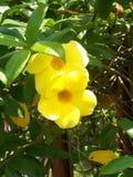 Fiore giallo di alamanda due sull'albero Fotografia Stock