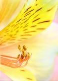 Fiore giallo di Alstroemeria Immagine Stock Libera da Diritti