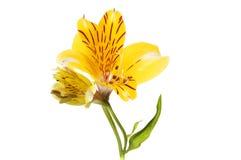 Fiore giallo di Alstroemeria Fotografia Stock Libera da Diritti