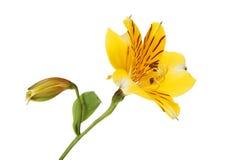 Fiore giallo di Alstroemeria Fotografia Stock