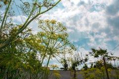 Fiore giallo di aneto nel giardino, fine gialla dell'aneto su, giorno di estate Fotografia Stock