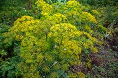 Fiore giallo di aneto nel giardino, fine gialla dell'aneto su, giorno di estate Fotografie Stock Libere da Diritti