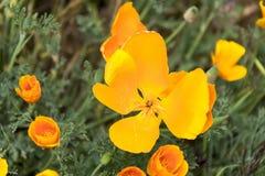 Fiore giallo di California del papavero Fotografia Stock Libera da Diritti