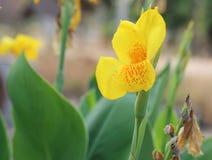Fiore giallo di Canna Immagini Stock