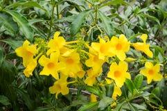 Fiore giallo di cathartica del Allamanda nel giardino della natura Fotografia Stock Libera da Diritti