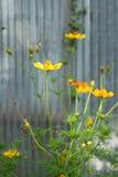 Fiore giallo di cosmea Immagine Stock
