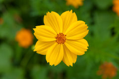Fiore giallo di cosmea in giardino Fotografia Stock