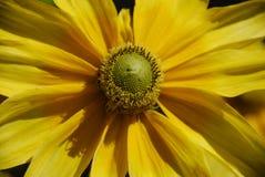 Fiore giallo di fioritura Fotografia Stock