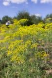 Fiore giallo di fioritura dell'aneto in giardino Fotografie Stock Libere da Diritti