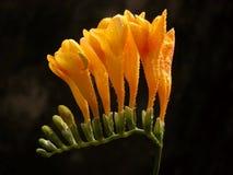 Fiore giallo di freesia sul nero Immagini Stock Libere da Diritti