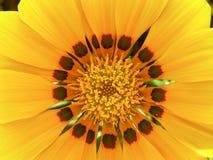 Fiore giallo di Gazania Fotografia Stock