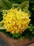 Fiore giallo di ixora fotografie stock