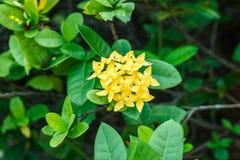 Fiore giallo di Ixora sull'albero Immagini Stock