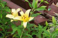 Fiore giallo di Lilly Fotografie Stock
