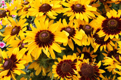 Fiore giallo di rudbeckia fotografia stock