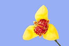 Fiore giallo di tigridia Fotografia Stock