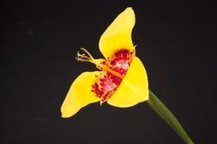 Fiore giallo di tigridia Fotografie Stock Libere da Diritti