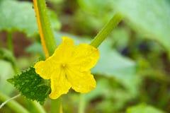 Fiore giallo di un cetriolo immagini stock libere da diritti