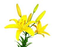 Fiore giallo di un giglio Immagini Stock Libere da Diritti