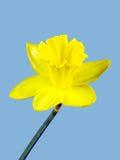 Fiore giallo di un narciso isolato su fondo blu Fotografia Stock Libera da Diritti