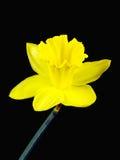 Fiore giallo di un narciso isolato su fondo nero Fotografia Stock