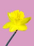 Fiore giallo di un narciso isolato su fondo rosa Fotografia Stock Libera da Diritti
