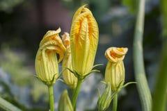 Fiore giallo di zucca Immagine Stock Libera da Diritti