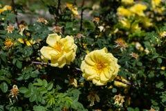 Fiore giallo due in via di Madrid Immagine Stock