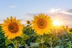 Fiore giallo e arancio luminoso del girasole sul giacimento del girasole Fotografia Stock