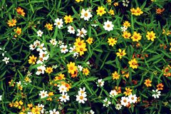 Fiore giallo e bianco con il tono d'annata Immagini Stock Libere da Diritti
