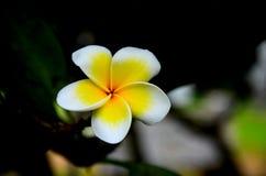 Fiore giallo e bianco del frangipane Fotografie Stock