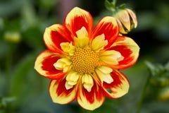 Fiore giallo e rosso Fotografia Stock Libera da Diritti