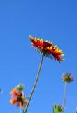 Fiore giallo e rosso in giardino Immagine Stock