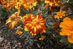 Fiore giallo ed arancione fotografia stock