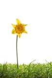Fiore giallo ed erba del narciso isolati su bianco Fotografie Stock