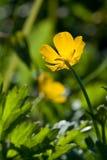 Fiore giallo ed erba verde Immagine Stock Libera da Diritti