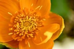 Fiore giallo eterogeneo, primo piano di vista superiore Fotografia Stock