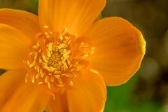 Fiore giallo eterogeneo, primo piano di vista superiore Immagine Stock