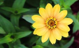 Fiore giallo in fioritura con lo spazio della copia Immagine Stock Libera da Diritti