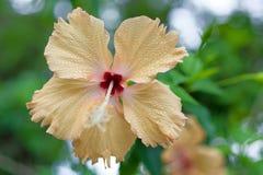 Fiore giallo fresco dell'ibisco Immagine Stock Libera da Diritti