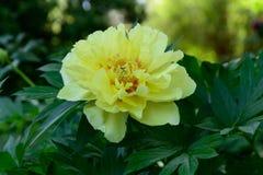 Fiore giallo a garde di Madrid Fotografie Stock