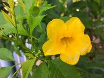 Fiore giallo in giardino Fotografie Stock Libere da Diritti