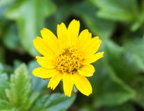 Fiore giallo in giardino Immagini Stock