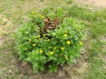 Fiore giallo in giardino Immagine Stock