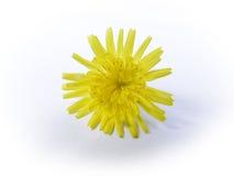 Fiore giallo isolato Fotografia Stock