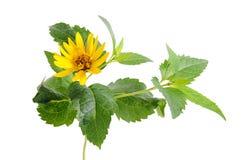 Fiore giallo isolato su priorità bassa bianca Fotografia Stock Libera da Diritti