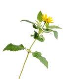 Fiore giallo isolato su priorità bassa bianca Immagini Stock Libere da Diritti