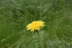 Fiore giallo Löwenzahn immagine stock libera da diritti