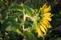 Fiore giallo luminoso del girasole su un fondo delle foglie verdi fotografia stock