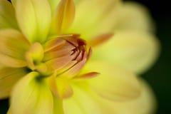 Fiore giallo a macroistruzione Fotografie Stock